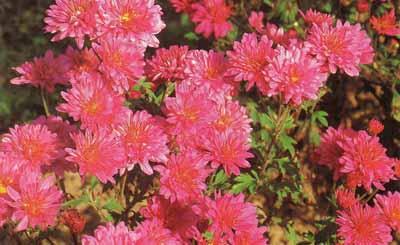 Хризантема корейская chrysanthemum koreanum